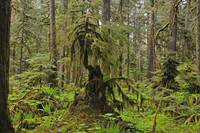 Old Growth Rainforest Recycle 2
