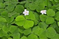 Raindrops on Flowering Oxalis in Forest