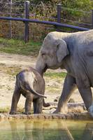 Baby Elephant Beco wants to swim at Columbus Zoo