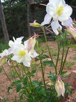 family of columbines