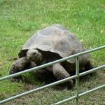 """Tortoise"" by MilkshakeCullion"