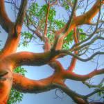 """""""Heavy Red Branches"""" by LydiaGaebeBishop"""