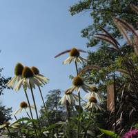 Cone Flowers in the Sky