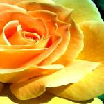 """""""Mellow Yellow"""" by winrow"""