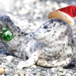 """Baby Seal Decking the Halls"" by markwhitesell"