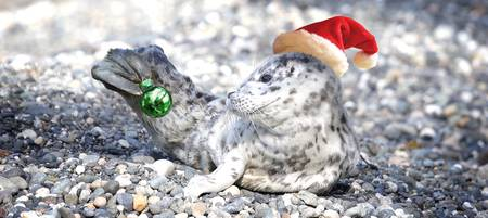 Baby Seal Decking the Halls