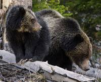 Sow With Cub On Log