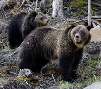 Sylvan Pass Grizzlies