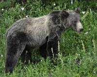 Black Grizzly Bear
