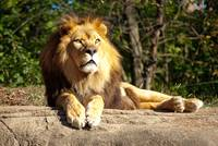 Majestic Lion