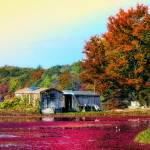 """""""Cranberry Farming"""" by ginacormier"""