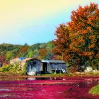 Cranberry Farming Art Prints & Posters by Gina M. Cormier