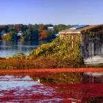 """""""Cranberry Bog Harvest"""" by ginacormier"""