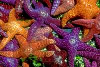 Seastars at Eliza Island, San Juan Islands