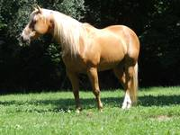 Golden Palomino
