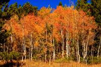 Colorful Autumn Aspens
