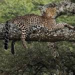 """""""Leopard On A Limb"""" by woodywooden"""
