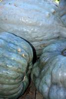 Blue Gray Pumpkins 0180