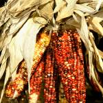 """Indian Corn 0187"" by rayjacque"