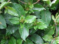Honeysuckle Dew