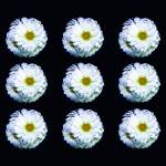 """Patterned Daisies"" by StudioT"