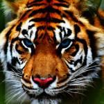 """""""Blue Eyed Tiger"""" by kdspenpaint"""