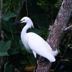 """Egret Resting in shade"" by BrandonJElliott"
