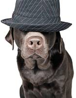 Labrador in Hat