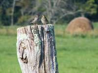 Finches on post