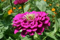 Purple Zinnia close up