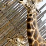 """Giraffe Mom and Baby Animals"" by kphotos"