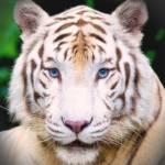 """White Tiger"" by kdspenpaint"