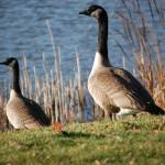 """""""Just Geese"""" by crazyabouthercats"""