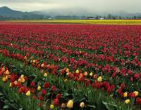 Skagit Valley Tulip Fields in Bloom