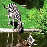 """Zebra Reflection"" by barbsummering"