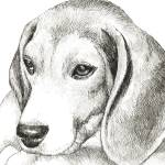 """Molly the Beagle"" by BThomasStudios"