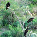 """Turkey Vultures"" by john_hunnicutt_ii"
