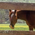 """Chestnut Horse in Tennessee"" by kphotos"