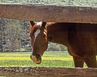 Chestnut Horse in Tennessee