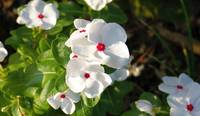 White Madagascar periwinkles in morning sun