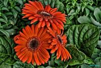 Red-Orange Daisies