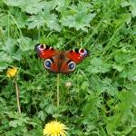 """butterfly in comrie"" by kimberleypowell"