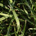 """dew drops on grass"" by soltrcy"