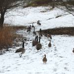 """Geese in the snow"" by kimberleypowell"