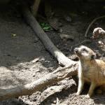 """Meerkat"" by MLYphotography"