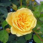 """Yellow English Rose"" by MelaniePruitt"