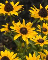 Looking to the Sky - Black-eyed Susan