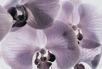 Moth orchids colorized
