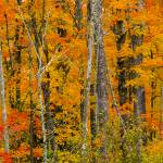 """North Woods in Orange"" by johnmclaird"