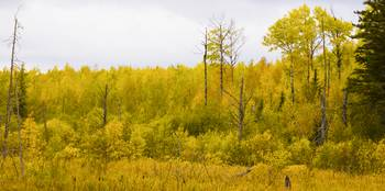 Tamarack Aspen and Birch